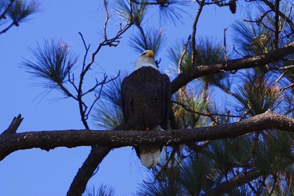 Norfolk Botanical Garden Bald Eagles 2008