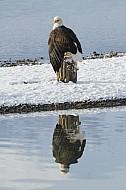 American Bald Eagle Festival Haines AK 2011